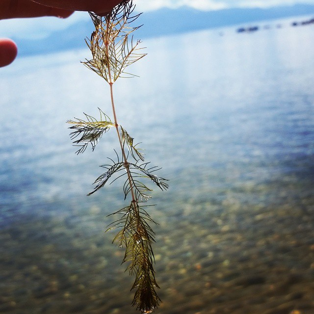 Ever see plants in Lake Tahoe and wonder if they belong there? Some don't! Sign up for one of our Eyes on the Lake trainings this summer to learn the difference between native and invasive species. Training dates and RSVP form are on our website, link...