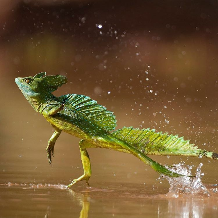 #GreenBasilisk lizards, or double-crested lizards, live in Central and South American #rainforests and can be found in trees near rivers and streams. When threatened, they drop from the trees and run on their back legs across the water's surface to...