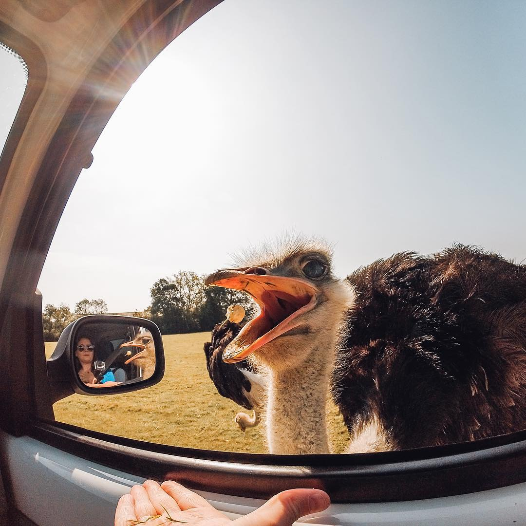 Photo of the Day!  An #ostrich reaches in and snaps up a kernal of popcorn. Photo by Charley Luchini using the HERO3 Silver. Share your best animal moments with us by clicking the link in our profile. #GoPro