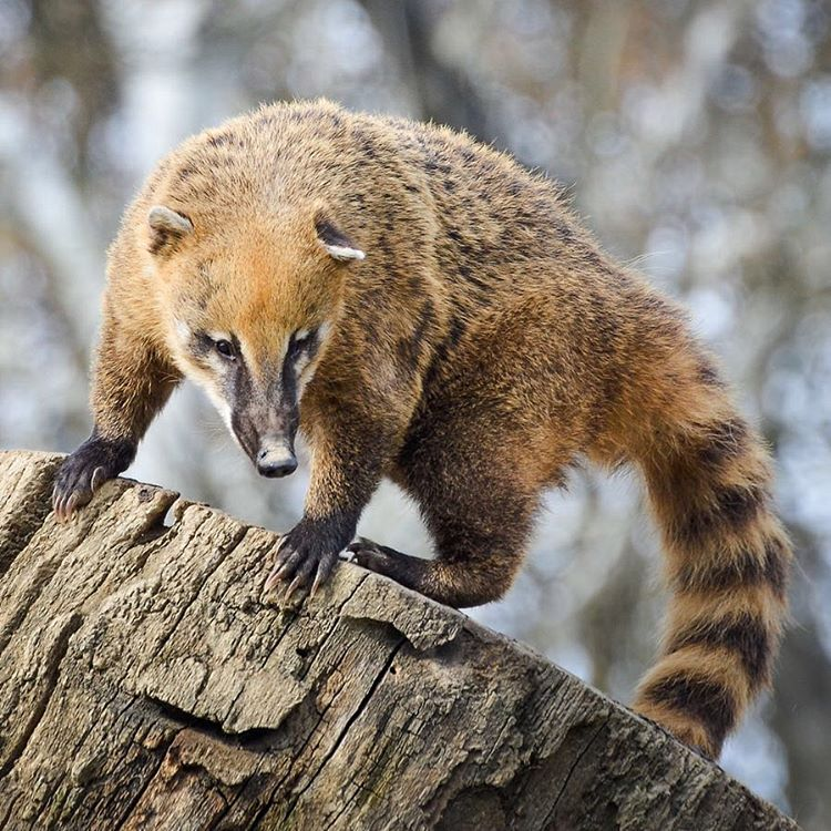 #Coatis are known for their long flexible noses that they use to dig holes and push objects around in search for food. Their famously ringed tails and double jointed ankles help them with balance when maneuvering through the treetops where where they...