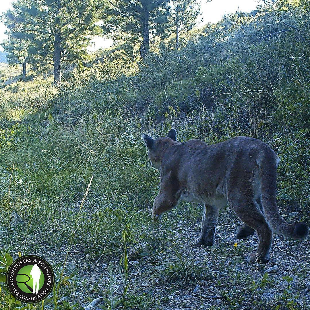 Mountain Lion! One of our crews caught this #bigcat on a camera trap in #Montana this summer. Did you know that adult lions weigh from 85-180 lbs, and stretch 7-8 feet, nose to tail? A typical male's territory is 100+ sq miles, while females range less...