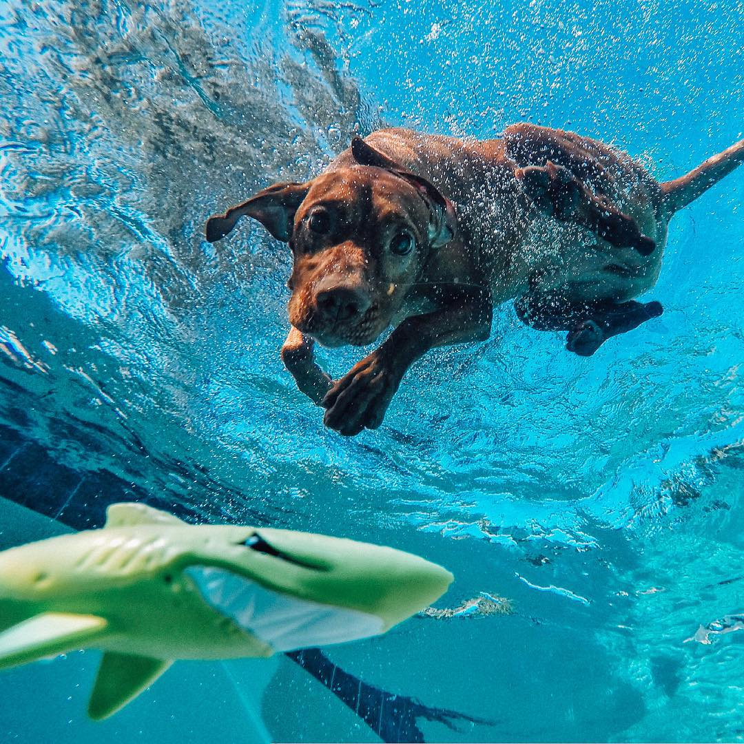 When the hunter becomes the hunted...@my_boaz breaks up his #humpday by chasing a #shark in the pool! Share your best moments with us by clicking the link in our profile. #GoPro #dogsofinstagram