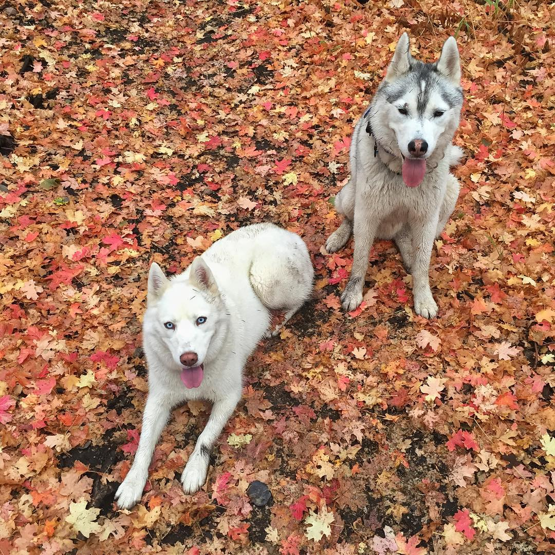Fall leaves, winter dogs. They've been waiting for snow since last winter. Seriously. #huskyfeels #winteriscoming #suchleaves
