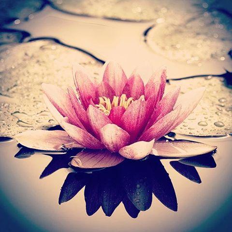Capaz de florecer aún sobre el agua más pantanosa, purifica todo a su paso. #flordeloto #lotoflower #maetuanis #followthesun
