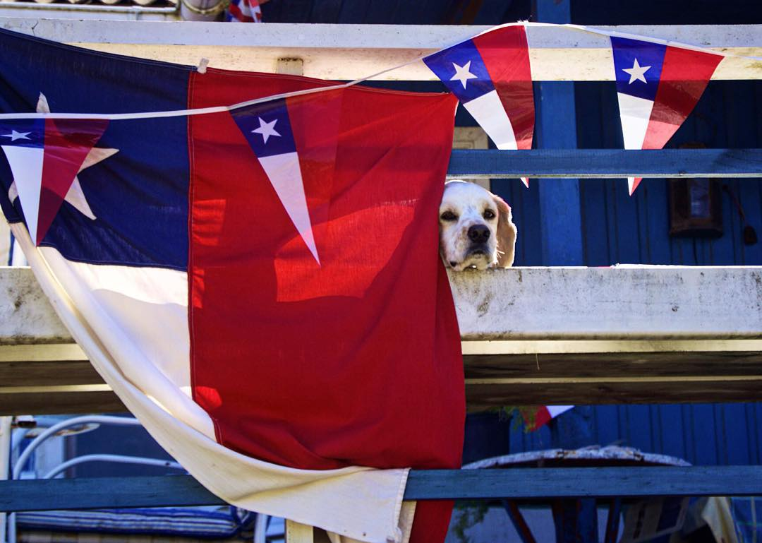 Meet Polo, Chile's most patriotic canine.
