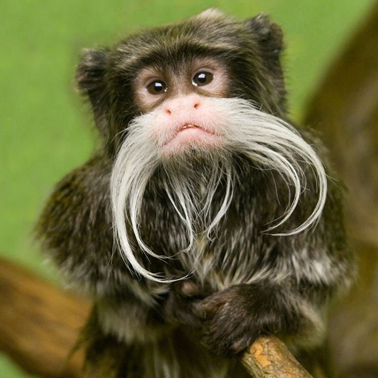 Emperor Tamarins are easily recognized by their long, white mustaches. They're active in their groups of tamarins and work together to survive. 2/3 of the females can see three colors which help them find ripe fruit, and the other 1/3 and the males can...