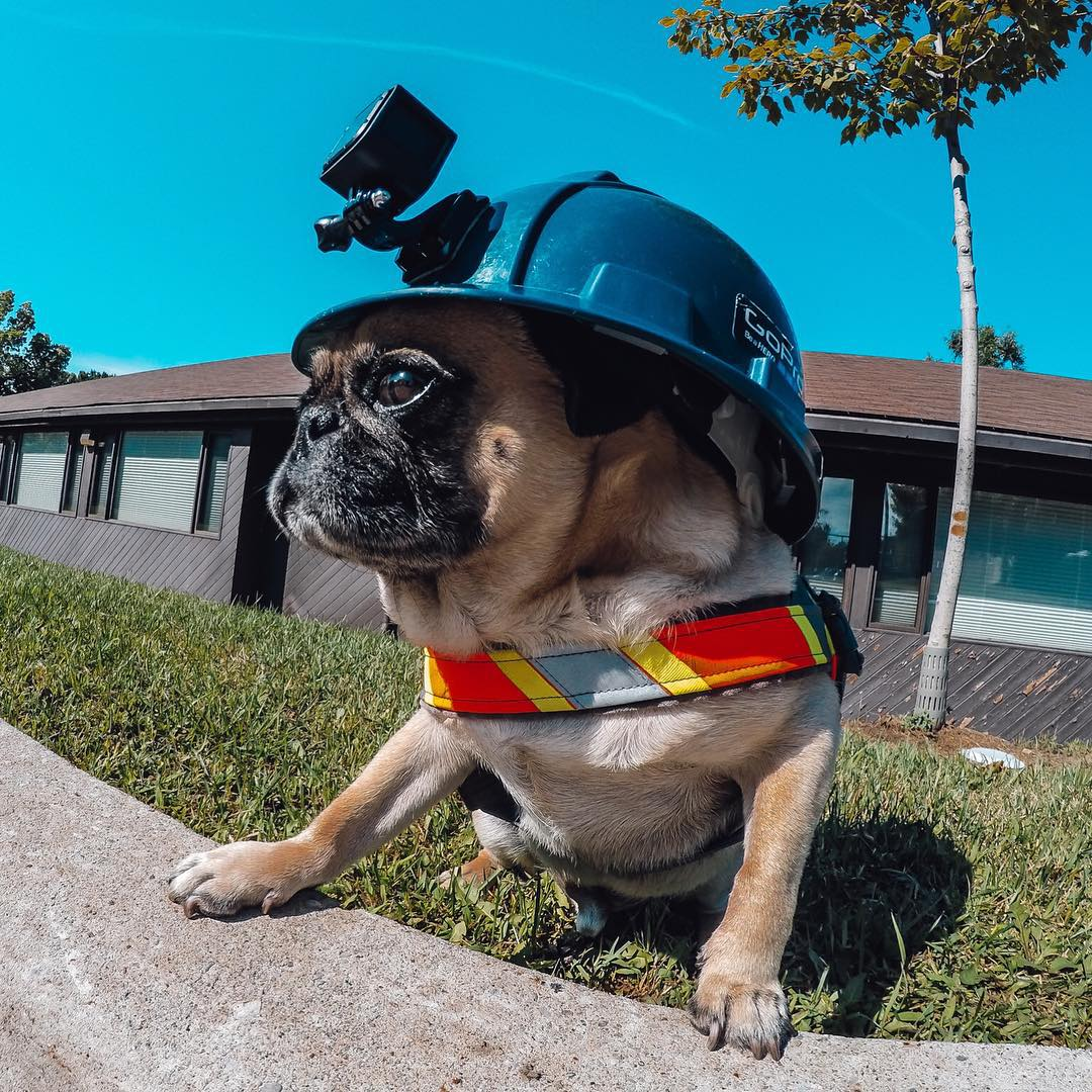 No slacking when @Atomthepug is on the job!  Share your best moments with us by clicking the link in our profile. #H #SafetyFirst #puglife