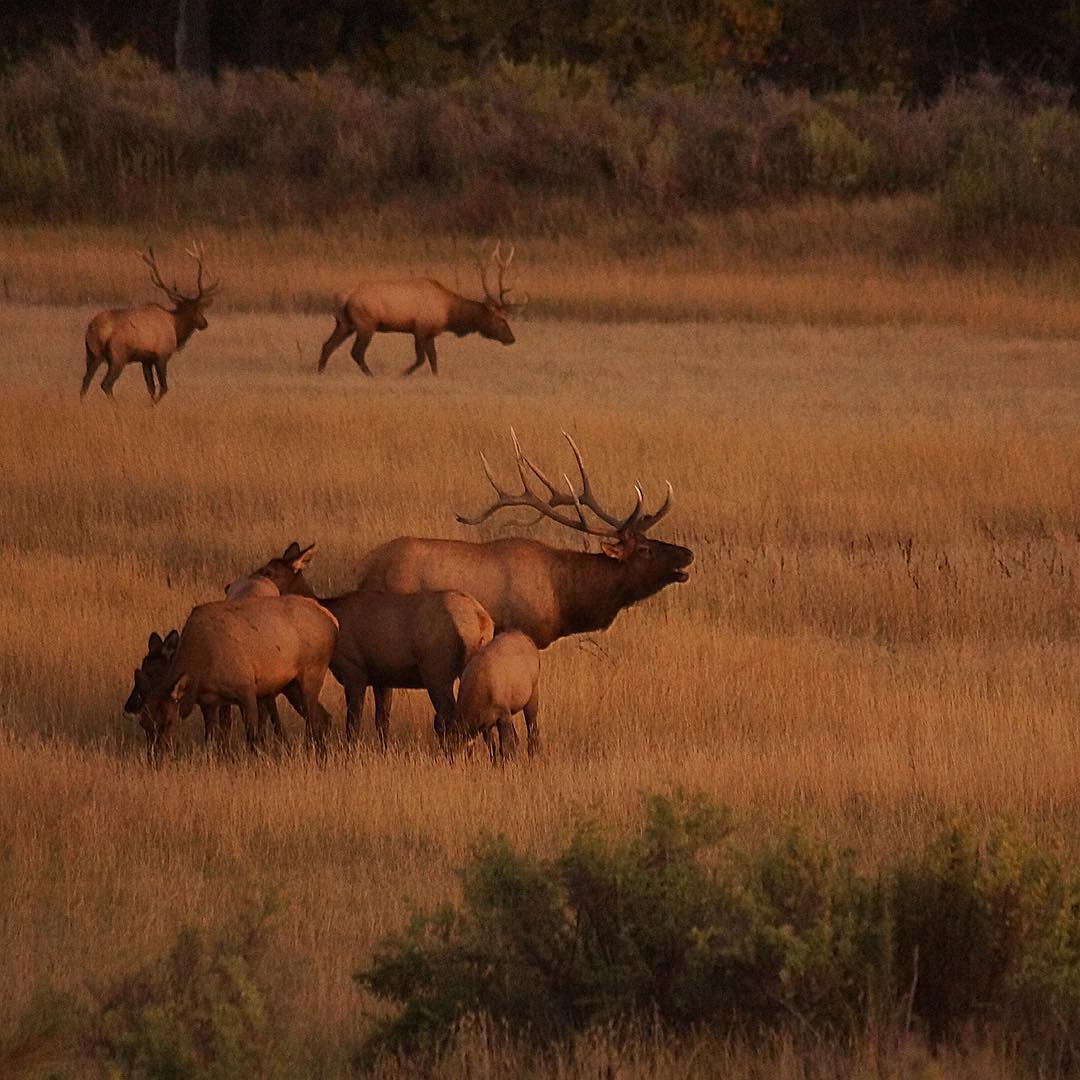 In celebration of #NationalPublicLandsDay... enjoy the breathtaking fall #elk rut on the Charles M. Russell National Wildlife Refuge. .