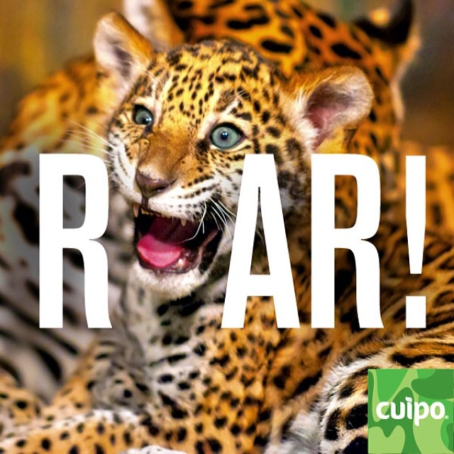 ROAR!!!!!!!!!! #cuipo #saverainforest Cuipo.org