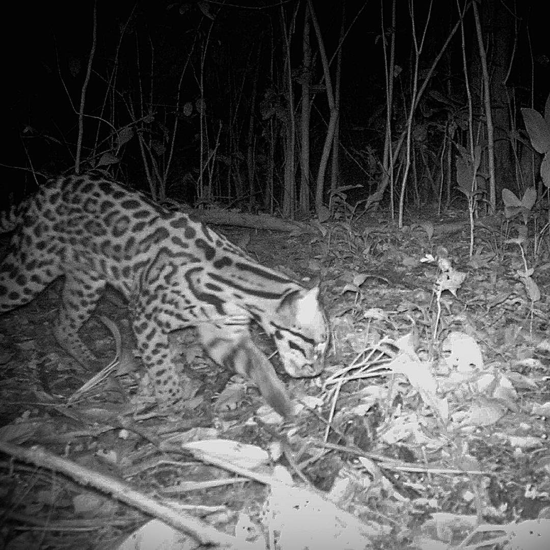 "A team of ASC adventurers in Costa Rica caught this #ocelot on a camera trap they set up at Reserva Playa Tortuga​. Nocturnal creatures, ocelots weigh up to 40 lbs. and can live as long as 20 years. These ""painted leopards"" not only climb and run with..."