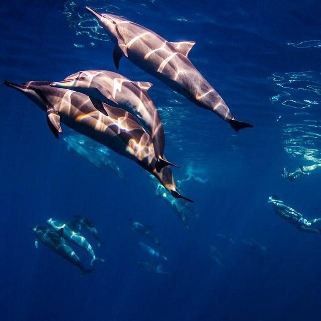 p o d • #sarahleephoto #spinnerdolphins #underthesea