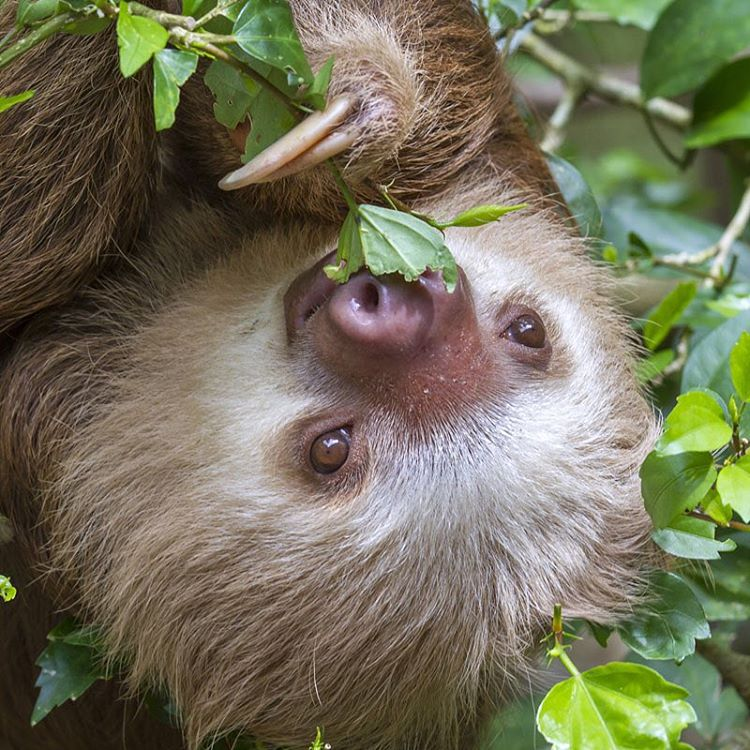 Two-toed sloths are tree-dwelling creatures that spend most of their lives hanging high up in the rainforest canopies.  What's the difference between two-toed and three-toed sloths? They are larger, faster (don't worry, they're still really slow), have...
