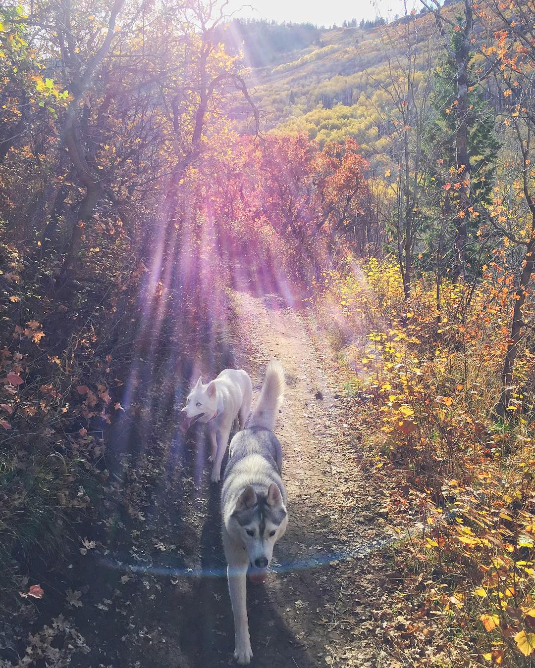 Part of my view during yesterday's hour long bike ride with my wife: our two fur beasts running with us on the #ParkCity mountain biking trails. They keep up pretty well, till we get near the end of our 7 mile ride. #exercisewithfurbeasts...