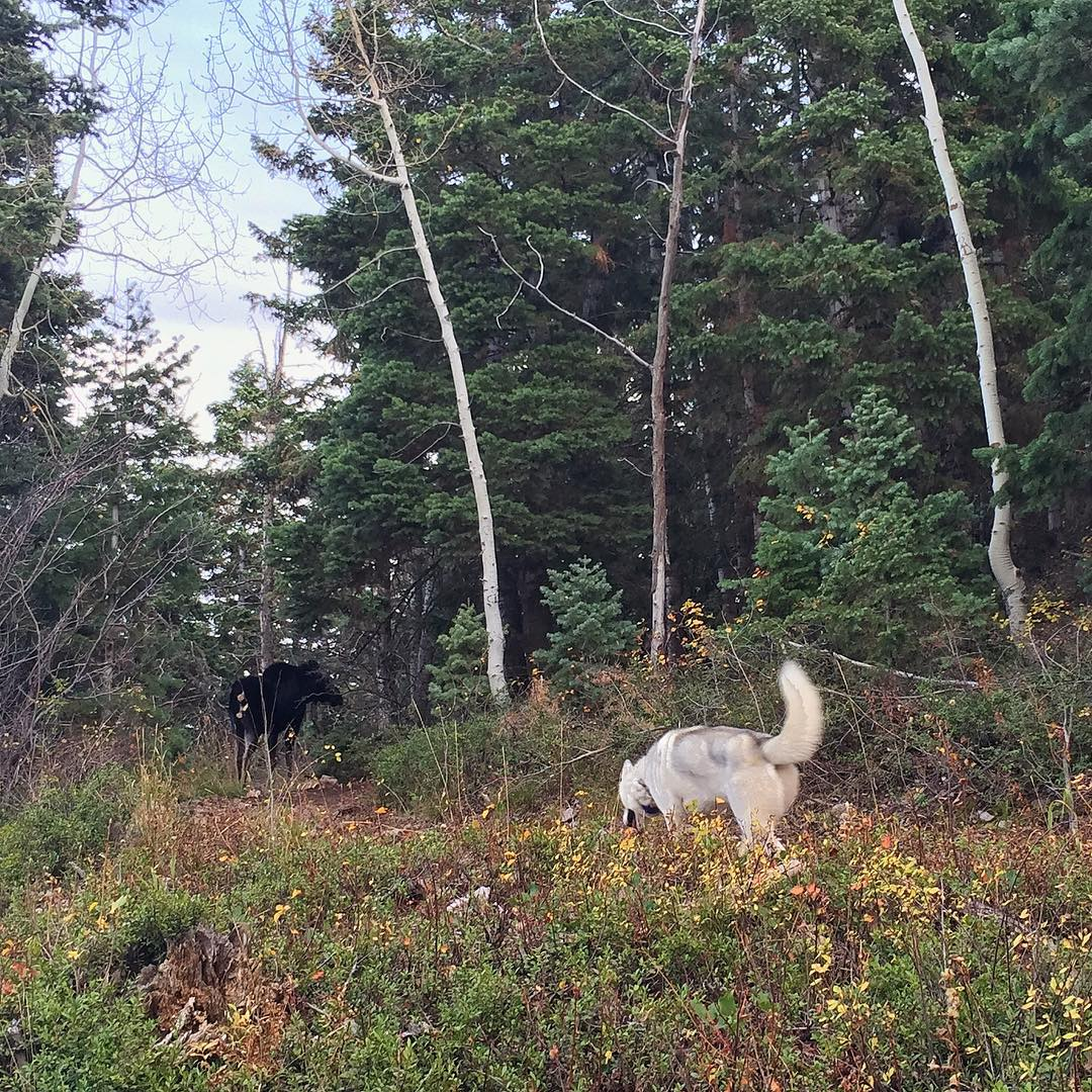 Bentley tried to make friends with a moose yesterday - but the moose wasn't interested. Ha. He was't very appreciative of Bentley's playful advances... Bentley got the hint after an aggressive charge by said moose. #wildlife #moosiedontplaythat...