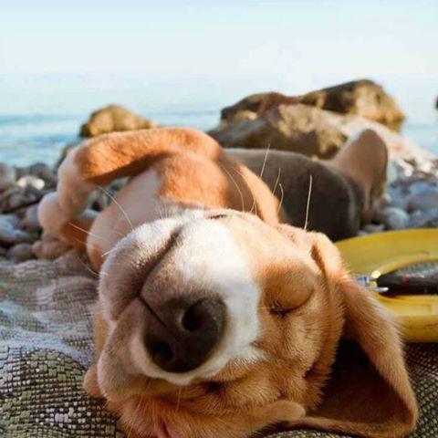 HIT SNOOZE #naptime #beach #luvsurf #dogsofinstagram #puppyLUV
