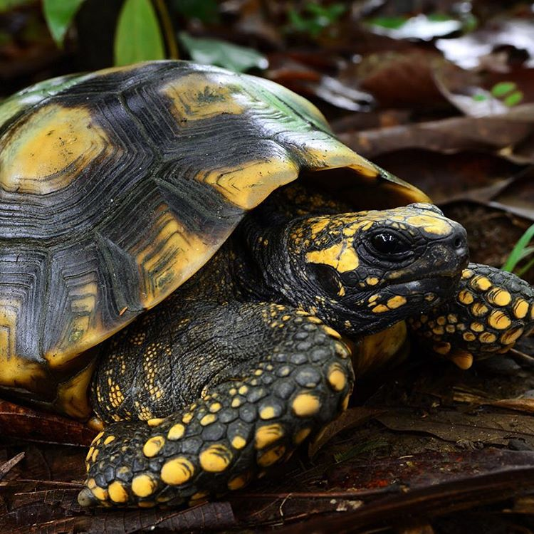 #WildlifeWednesday: The yellow-footed tortoise, also known as the #Brazilian giant tortoise, lives in dense rainforests and tropical lowlands throughout #SouthAmerica and are threatened due to habitat loss and hunting. #