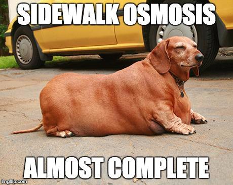 fat dachshund meme 8