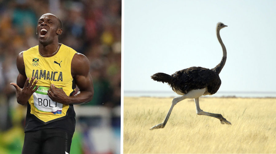 Dethroned! Usain Bolt Loses To Ostrich Who Didn't Know He Was Racing