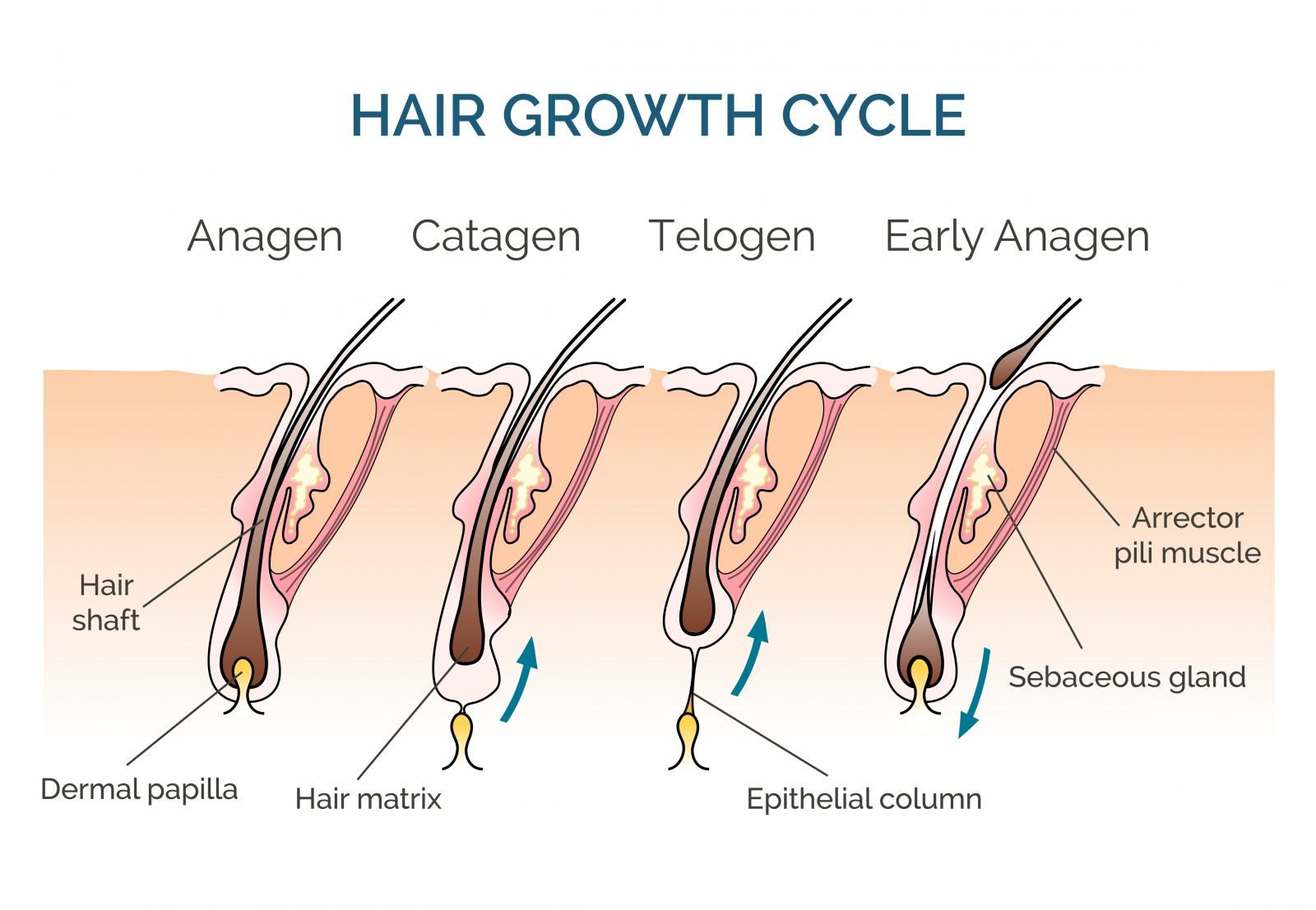 Hair Growth Cycle graphic