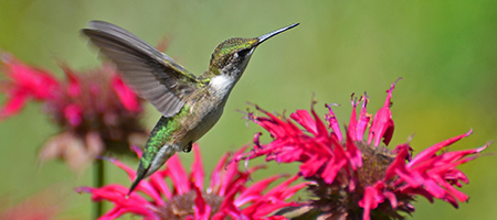 Vincent Gardens online nursery specializes in perennials, flowering shrubs, woody ornamentals, and butterfly host plants that attract butterflies, hummingbirds, and birds to your garden!