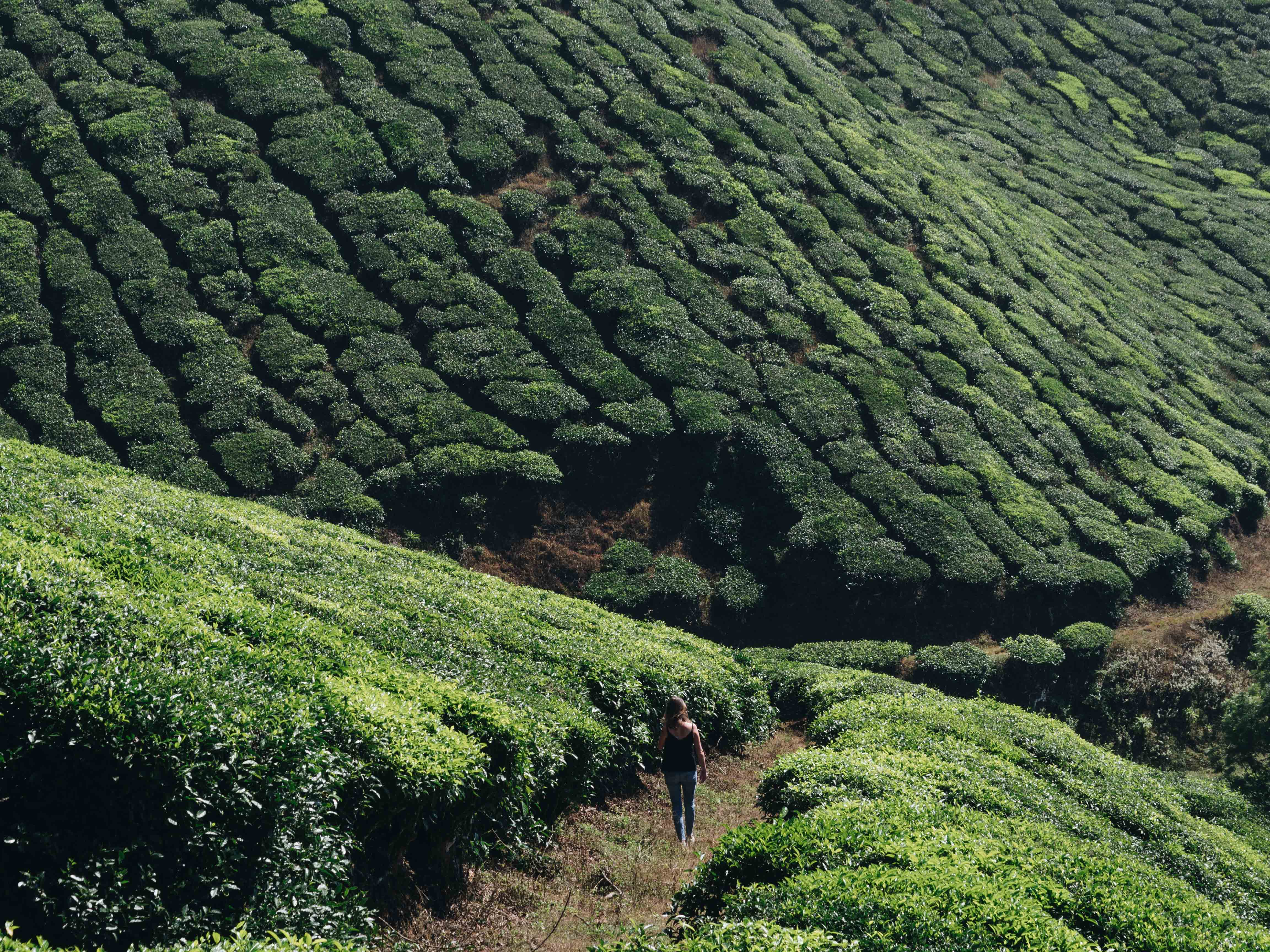 Image for blog article: Munnar