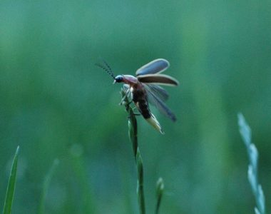 Fantastic Fireflies