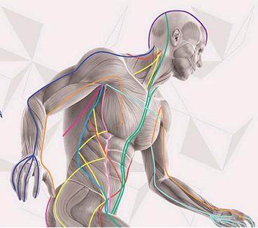 Anatomy Myofascial Bands