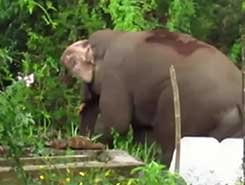 Mission to capture elephants of Sinharaja halted on President&#39s orders (English)