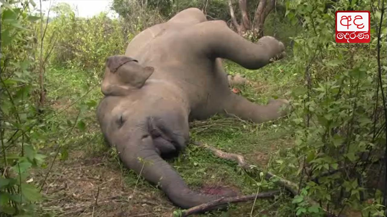Elephant shot dead in Rathmale