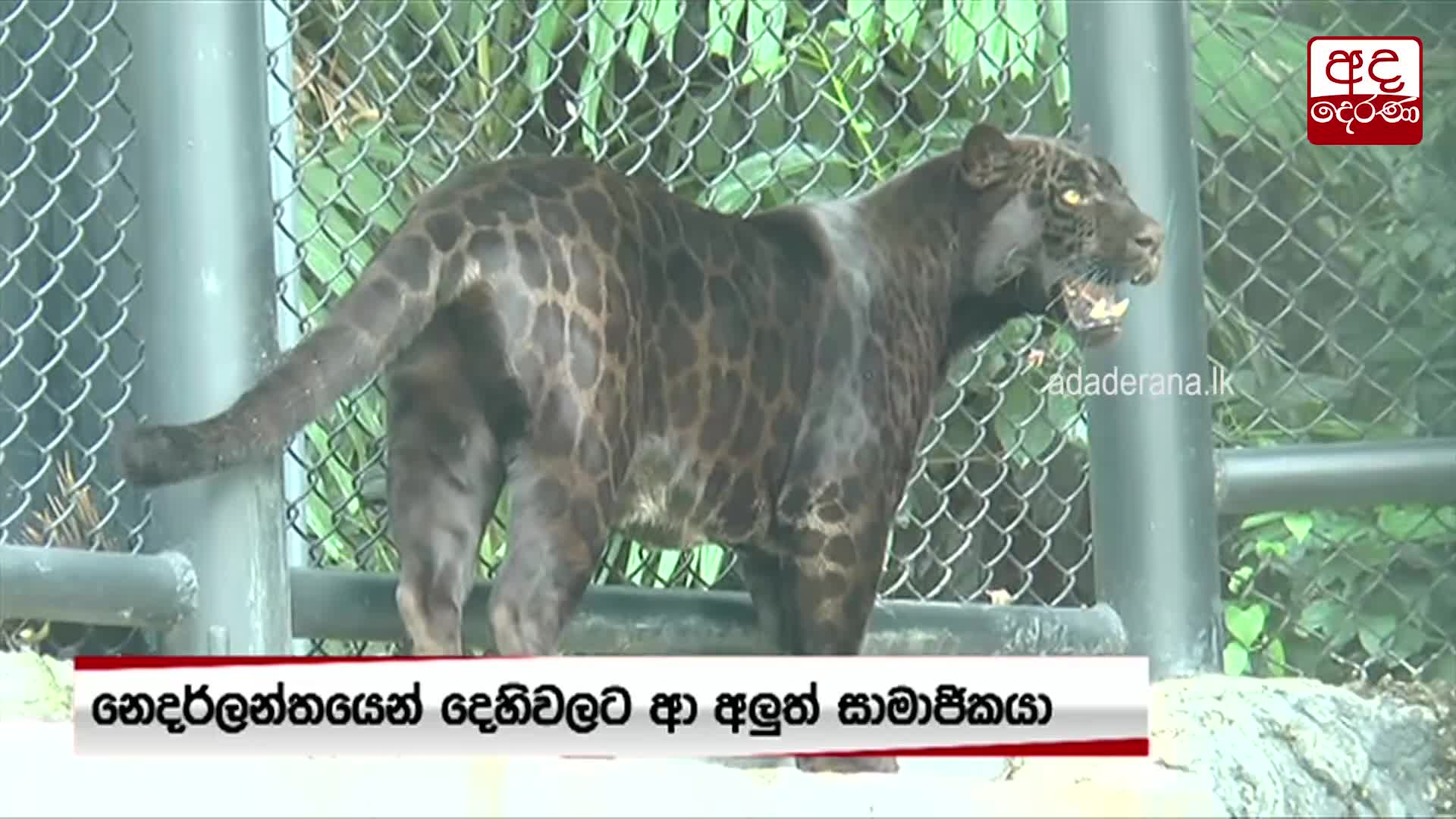 Public exhibition of Black Jaguar from Netherlands open from today