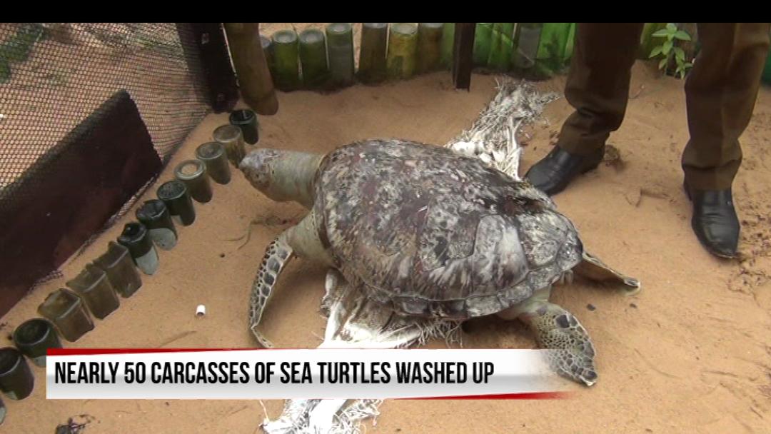 Dead sea turtles continue wash ashore in Sri Lanka after ship disaster (English)