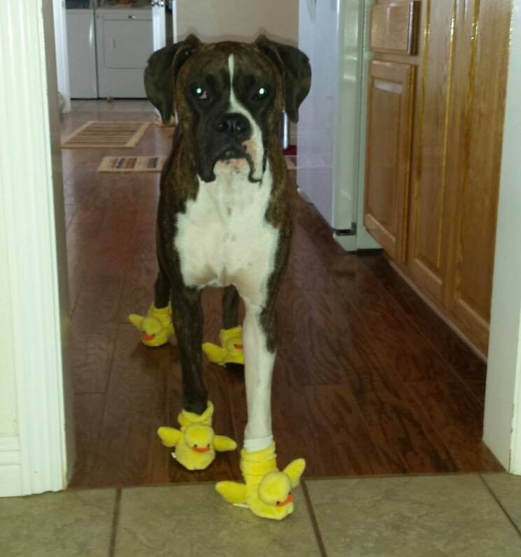 Boxer Wearing duck slippers