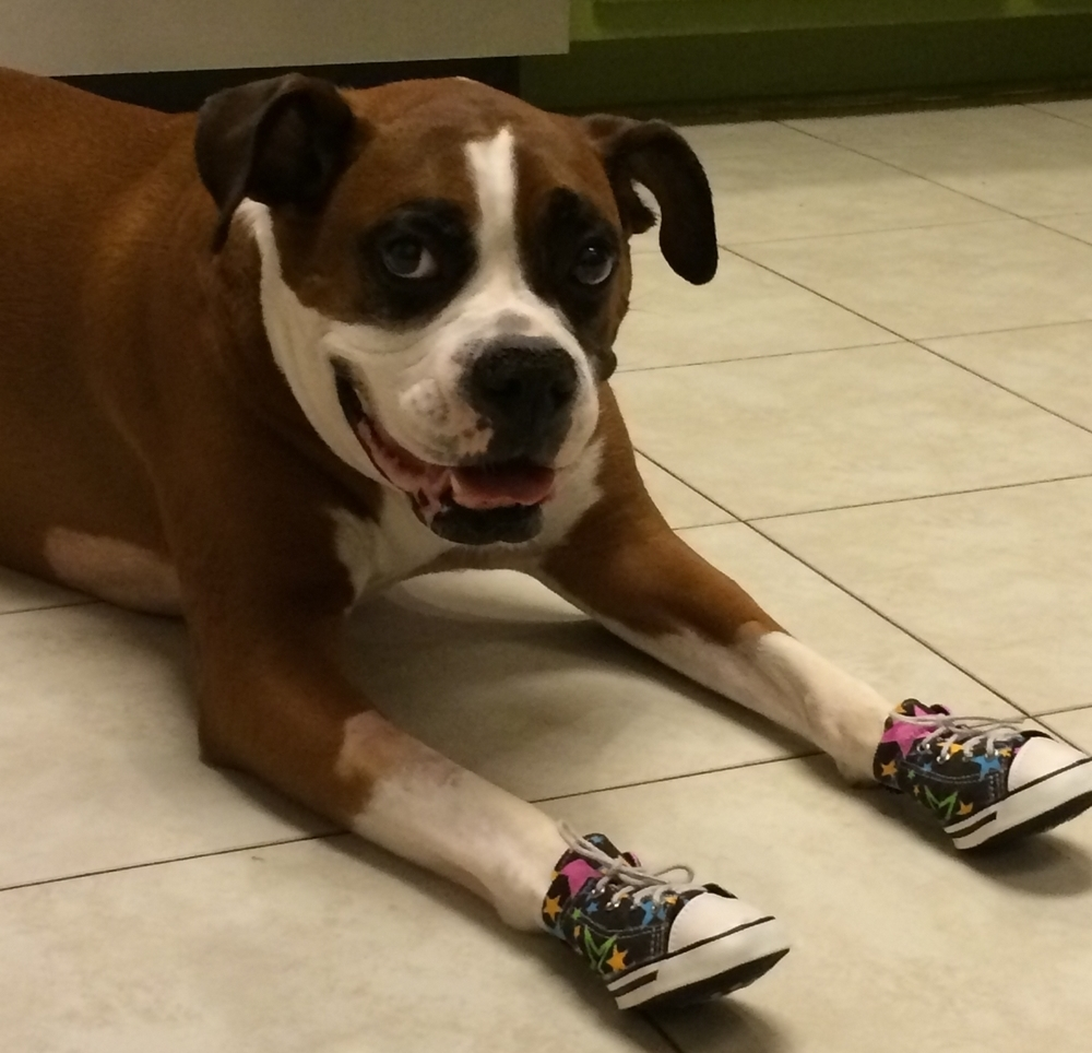 Boxer Wearing Dog Sneakers