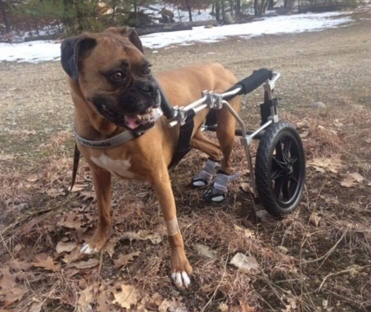 Boxer in wheelchair wearing booties