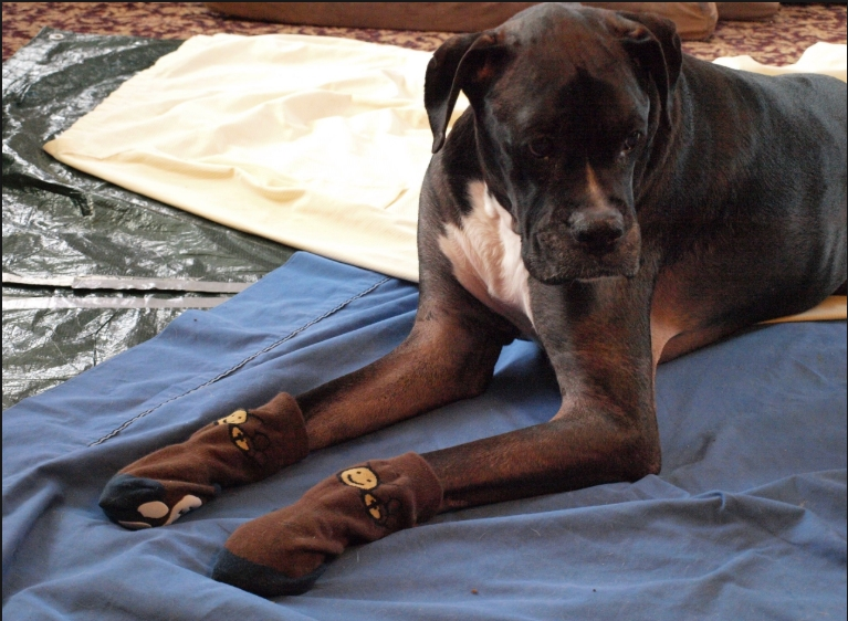 Boxer Wearing Socks for Traction
