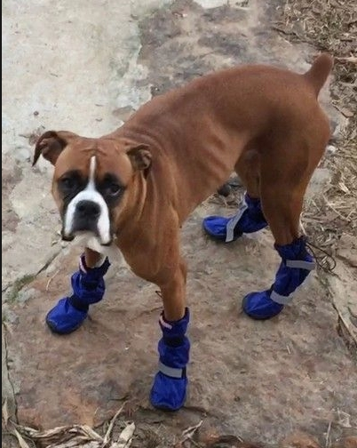 Boxer Wearing Tall Snow Boots