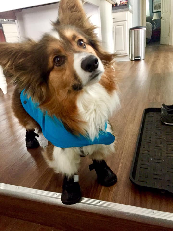 Corgi in Dog Booties
