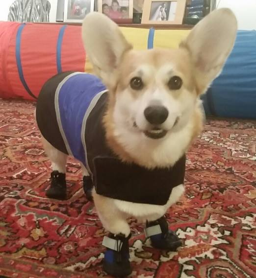 Corgi Wearing Snow Boots