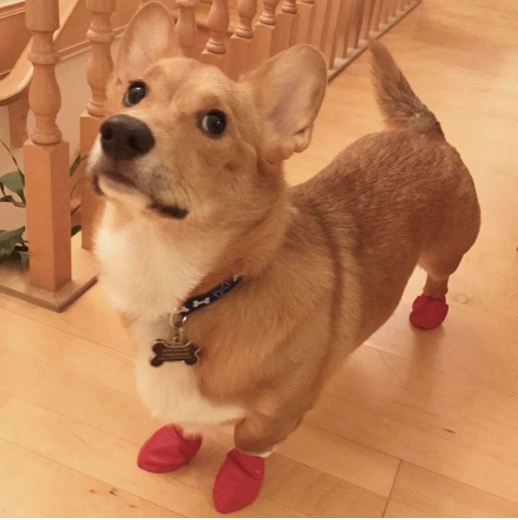Corgi Wearing Pawz Booties