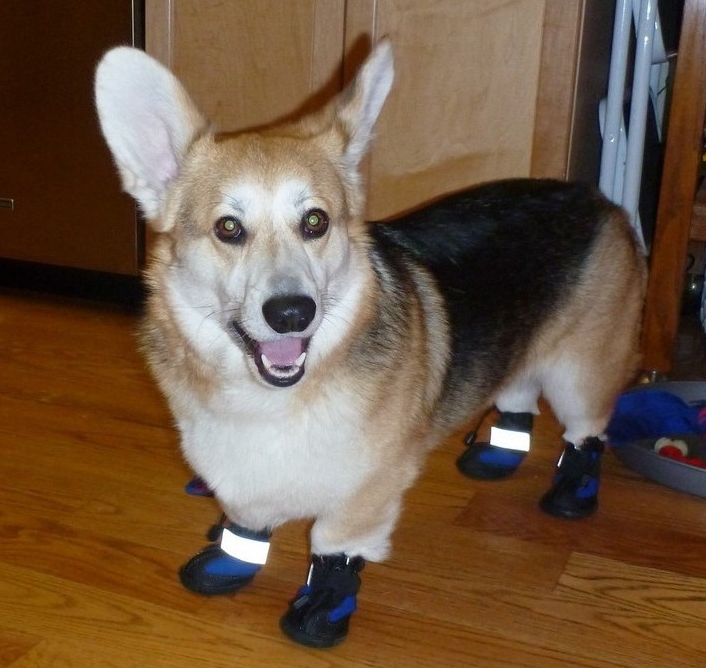 Corgi Wearing Dog Boots