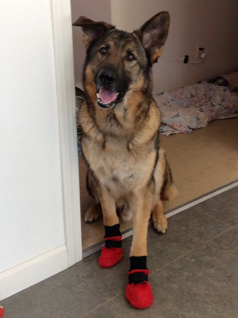 German Shepherd Boots for allergies