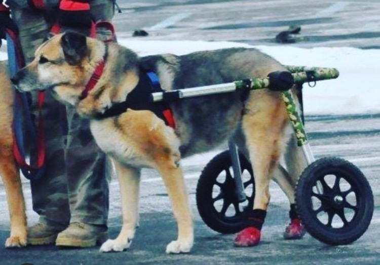 German Shepherd in Wheelchair With Boots on