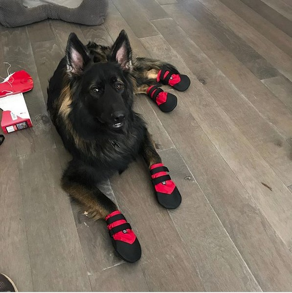 German Shepherd Wearing Traction Booties