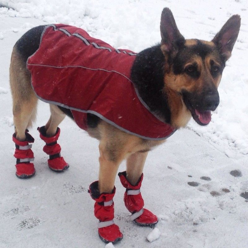 German Shepherd Wearing Snow Boots