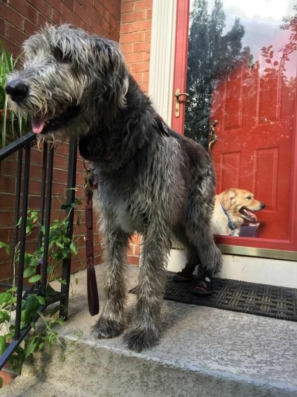 Irish Wolfhound Boots Hip Dysplasia