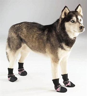 Siberian Husky wearing dog boots