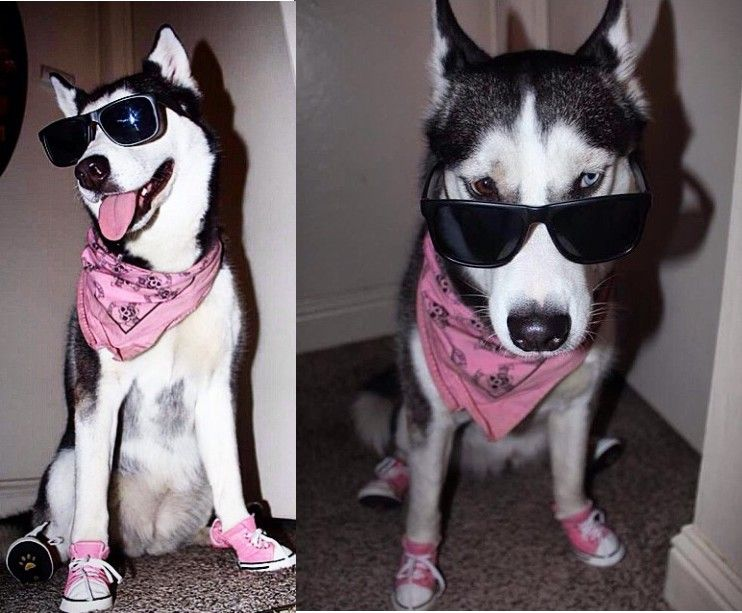 Siberian Husky Wearing Sneakers