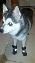 Siberian Husky Wearing Snow Boots