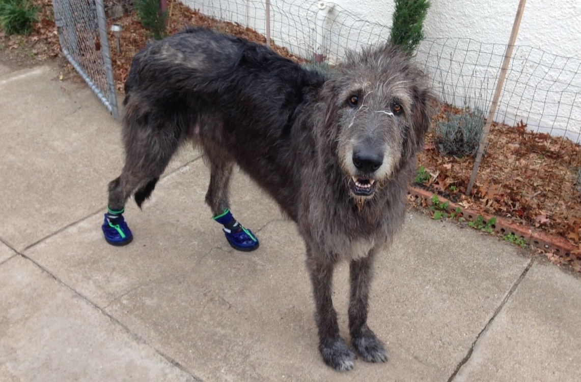 Irish Wolfhound Wearing Dog Boots