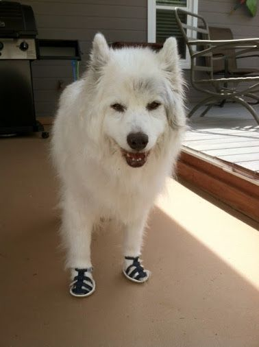Siberian Husky Wearing Dog Sandals for Hot Pavement